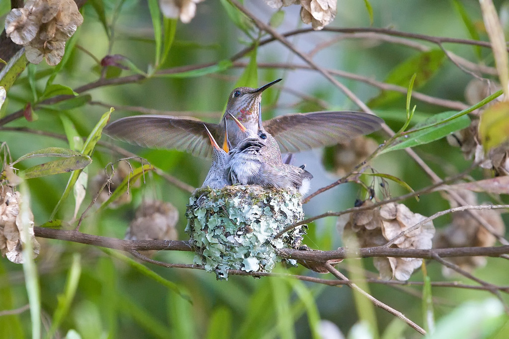 The mother is extremely territorial and protective of her babies, but she let me stay within 4 feet of them after I made sure she knew I wasn't a predator.  The chicks are 16 days old in this image.<br /> <br /> Anna's Hummingbirds, Copyright 2010 Gary Yost