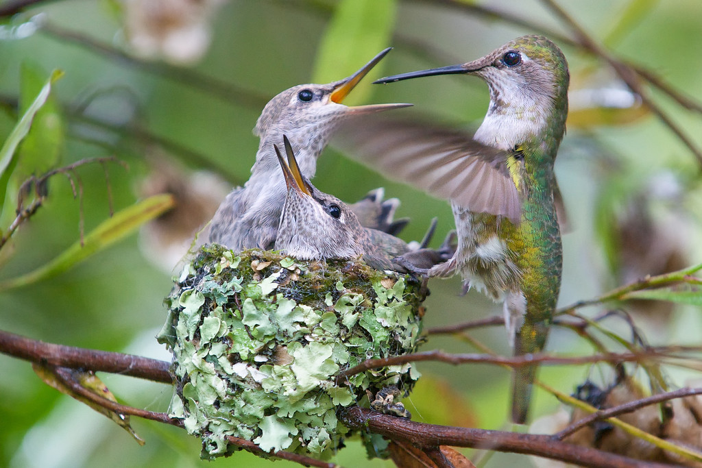 At 19 days, the chicks are quite aggressive about being fed.  They change visibly from day to day.  The mother feeds them every 15-20 minutes during the 21-day hatching-to-fledging period.<br /> <br /> Anna's Hummingbirds, Copyright 2010 Gary Yost