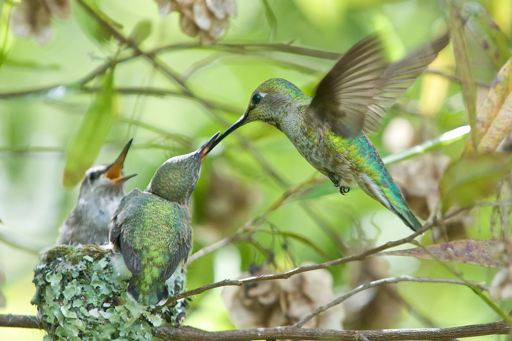 This remarkable feeding-while-hovering behavior began in the 18th day and continued until fledging on the 21st day.<br /> <br /> Anna's Hummingbirds, Copyright 2010 Gary Yost