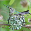 Nesting behavior during brooding phase.  The nest is constructed of lichens and mosses gathered from a bay tree that towered above this Dodonaea bush.  Spider webs were used to anchor the nest to the branches.<br /> <br /> Anna's Hummingbirds, Copyright 2010 Gary Yost