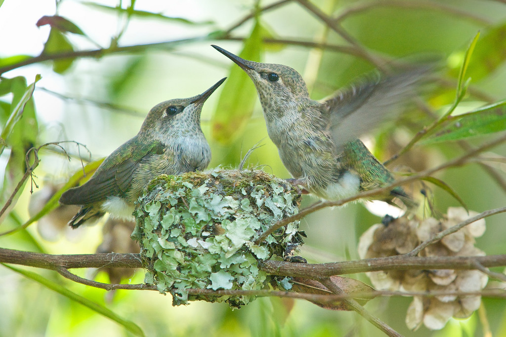 At 19 days old, the chicks begin to seriously practice flapping their wings furiously.  <br /> <br /> Anna's Hummingbirds, Copyright 2010 Gary Yost