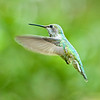 The mother on the day the chicks fledged.  Thank you Mama!<br /> <br /> Anna's Hummingbirds, Copyright 2010 Gary Yost