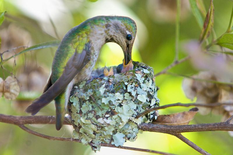 3-day-old chicks.<br /> <br /> Anna's Hummingbirds, Copyright 2010 Gary Yost