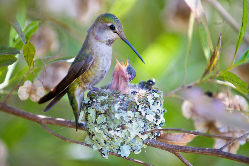 4-day-old chicks.<br /> <br /> Anna's Hummingbirds, Copyright 2010 Gary Yost