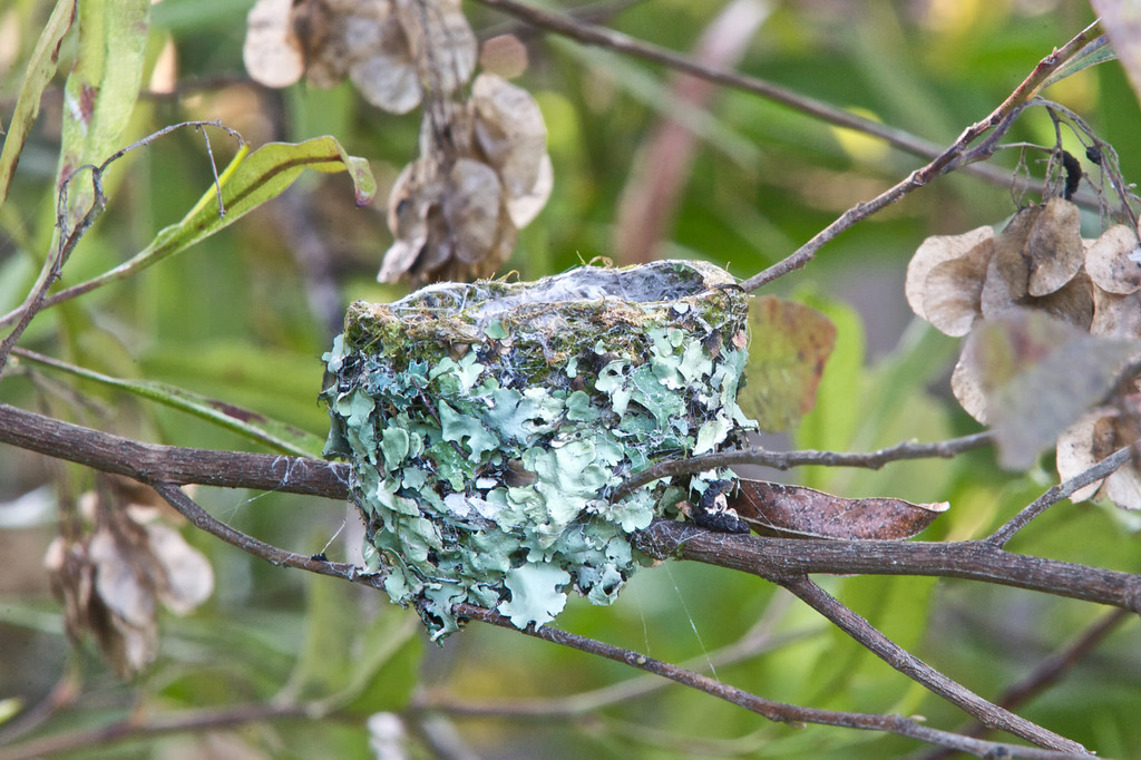On the morning of the 22nd day.  <br /> <br /> The chicks never returned to the nest after their first day of flight.<br /> <br /> Anna's Hummingbirds, Copyright 2010 Gary Yost
