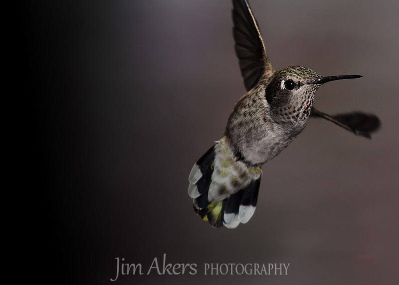 Hummingbirds are interesting birds.  They are small and very fast.  They are the only bird in the world that can fly backwards.  Roy Dunn helped get this shot.  check out Roy's website: roydunnphotography.com
