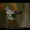 Hummingbirds : 1 gallery with 12 photos