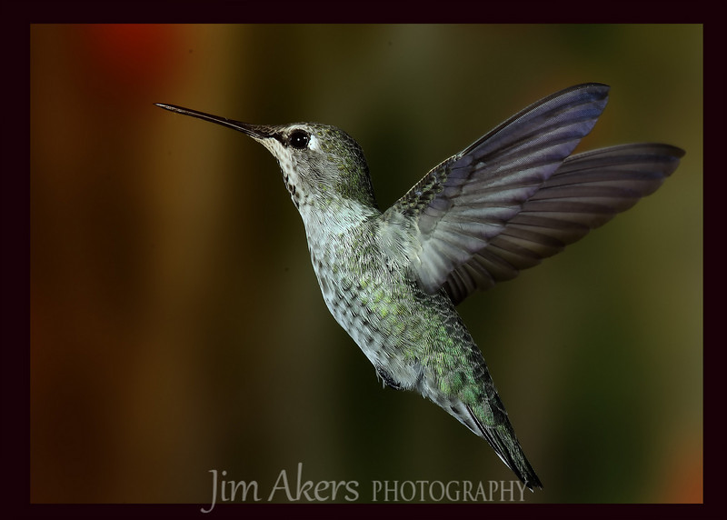 This is a Female Anna's Hummingbird.  Hummingbirds are amazing little birds.  Very fast.  Photographying is part luck part skill.  The more you shoot the better the results in the long run. With the help of Roy Dunn I was able to get the shot.  check out Roy's website: roydunphotography.com