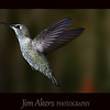 Female Anna's Hummingbird.  Very fast bird.  Hummingbirds are the only bird in the world that can fly backwards.  I was able to get this shot with the help of Roy Dunn.  Check out his website: roydunnphotography.com