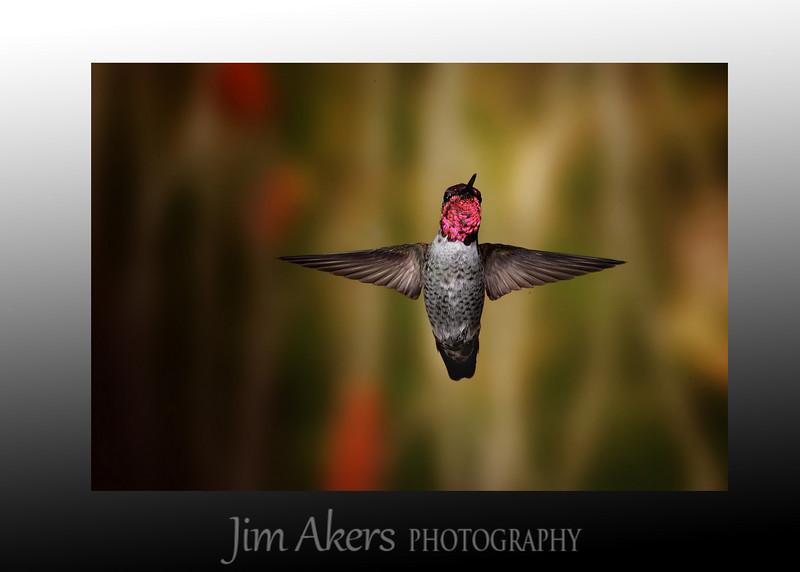 This is a male Anna's Hummingbird.  Very fast.  Here today gone in a millie second.  You have to be luck and skilled to get the shot.  I could not get this shot with the help of Roy Dunn.  Check out his website: roydunnphotography.com