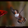 Rufous Hummingbird.  Hummingbirds are very fast.  They are the only bird that can fly backwards.  The burn alot of calories to do their thing.