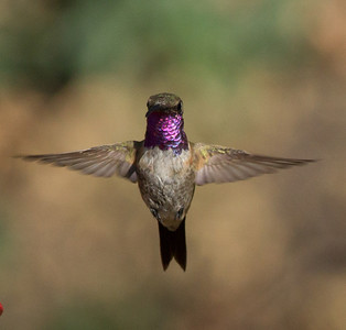 Lucifer Hummingbird  Ash Canyon Arizona 2011 08 20-10.CR2