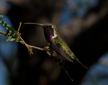 Lucifer Hummingbird  Ash Canyon Arizona 2011 08 20-8.CR2