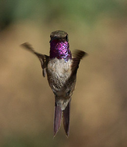 Lucifer Hummingbird  Ash Canyon Arizona 2011 08 20-9.CR2