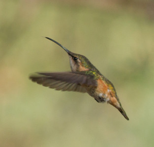 Lucifer Hummingbird  Ash Canyon Arizona 2011 08 20-7.CR2