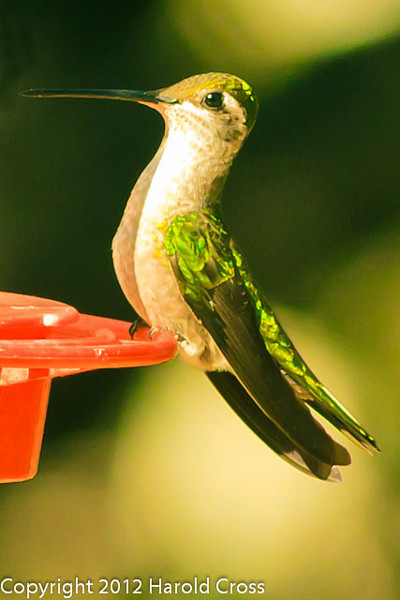 A Magnificent Hummingbird taken Feb. 27, 2012 in Madera Canyon, AZ.