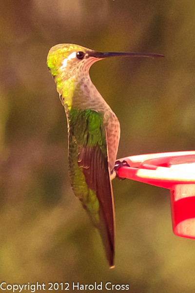 A Magnificent Hummingbird taken Feb. 27, 2012 in Madera Canyon, AZ.