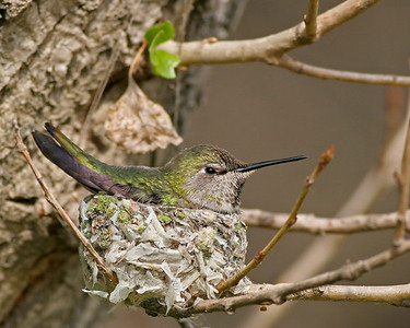 Nesting Hummers