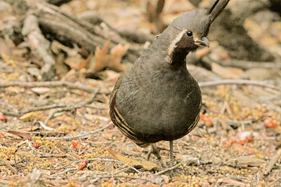 Mountain Quail Mt Palomar  2009 06 12-4.JPG