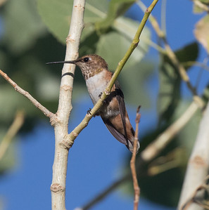 Rufous Hummingbird Coso Junction 2020 07 29-1.CR2