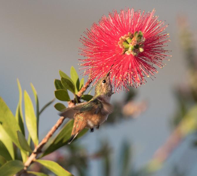 Rufous-Allen`s Hummingbird Leucadia 2020 06 16-3.CR2
