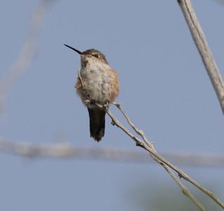 Rufous Hummingbird Oasis 2018 05 20-2.CR2