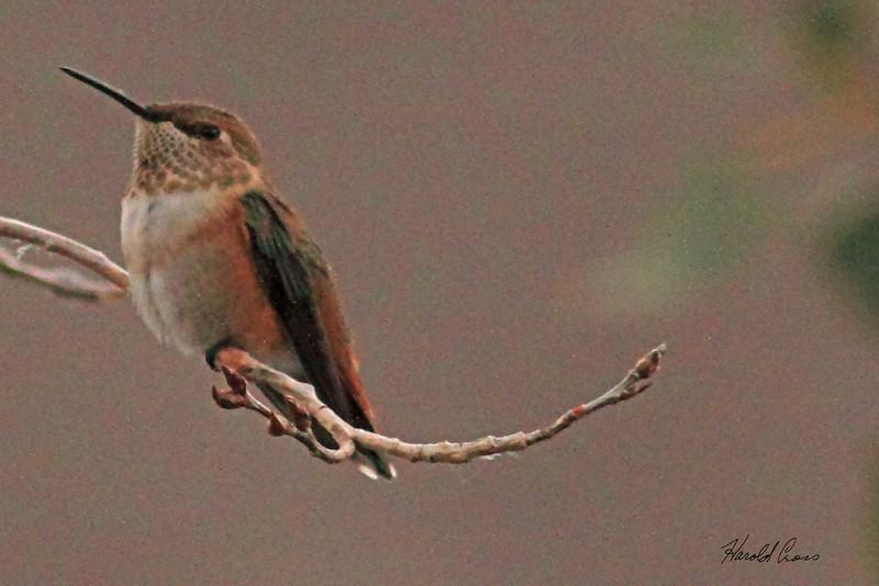 A Rufous Hummingbird  taken Aug 17, 2010 in Fruita, CO.