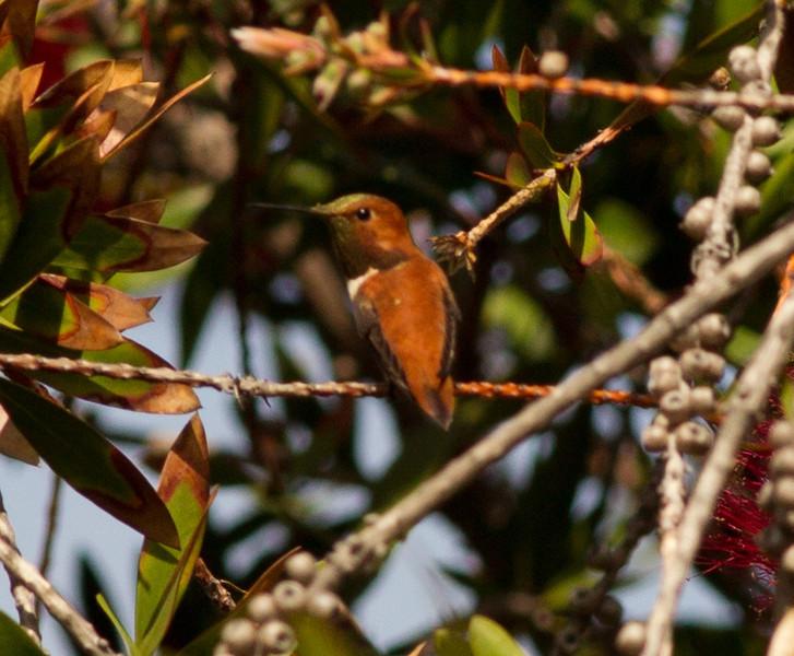 Rufous Hummingbird   Sorrento Valley 2014 04 20-1.CR2