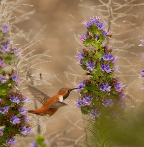 Rufous Hummingbird  Nazarene College Point Loma 2014 04 19-2.CR2