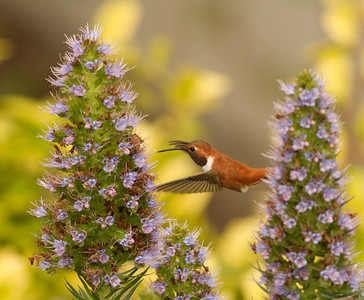 Rufous Hummingbird  Nazarene College Point Loma 2014 04 19-5.CR2