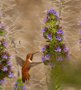 Rufous Hummingbird  Nazarene College Point Loma 2014 04 19-1.CR2