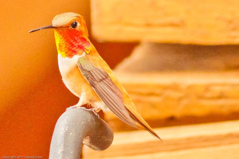 A Rufous Hummingbird taken July 22, 2011 near Durango, CO..