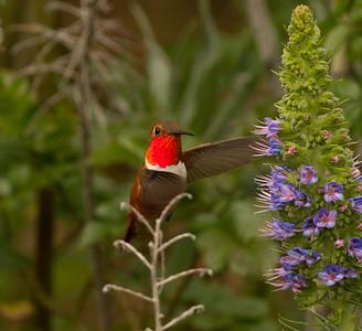 Rufous Hummingbird  Nazarene College Point Loma 2014 04 19-3.CR2