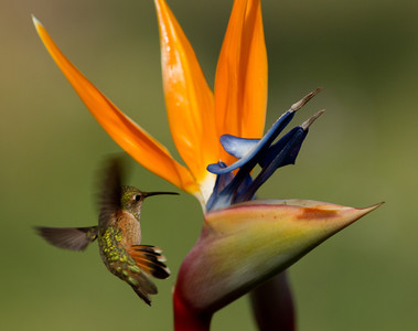 Selasphorous  Hummingbird  Carlsbad 2012 02 29 (1 of 3).CR2