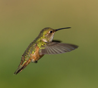 Selasphorous  Hummingbird  Carlsbad 2012 02 29 (3 of 3).CR2