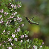 Anna's hummingbird and manzanita