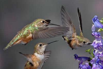 Female Rufus Hummingbirds
