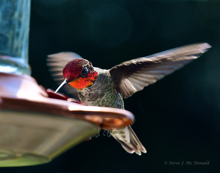 ANNNA'S HUMMINGBIRD (1)816