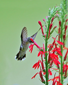 Hummingbird / Cardinal Flower 0481