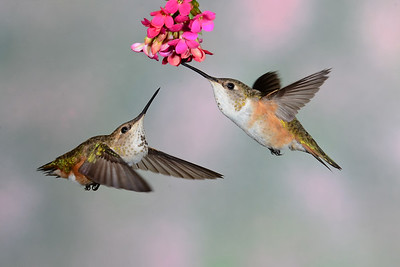Young female Rufus Hummingbirds sharing the nectar.