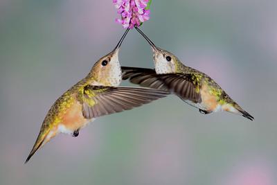 Female Rufus and Female Calliope Hummingbirds