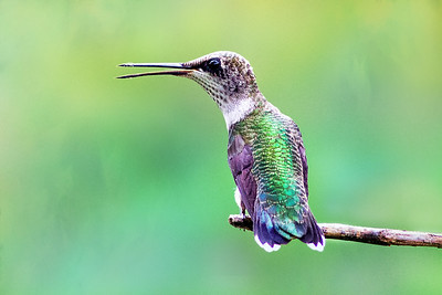 Ruby Throated Hummingbird Perching on branch