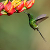 Green Beauty<br /> <br /> This sweet and very tiny hummingbird is one of the most difficult<br /> to catch for any kind of shot!  They fly like a bumble bee, dance around the flowers with a very quiet, and non-aggressive posture.<br /> <br /> The other birds chase them away quickly, so it takes a very determined bird to have a chance!  At this location we find up to 10 different species of hummingbirds, the fun is watching them interact, and jockey for position on the flowers and feeders.<br /> <br /> Thanks for looking, and sharing my images!<br /> <br /> Green Thorntail in Flight<br /> RJB Colours of Costa Rica Tour<br /> ray@raymondbarlow.com<br /> 1/2000s f/4.0 at 310.0mm iso1600<br /> <br /> Private tours for small groups available!