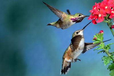 Male Calliope and Female Rufus Hummingbirds