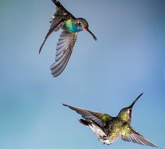 Broad-billed Hummingbirds Male (top) Female (bottom)