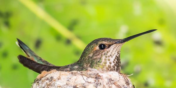 Nesting Hanna's Hummingbird