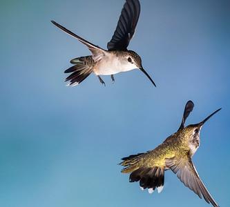 Black-chinned Hummingbird, Female (top) Broad-billed, Female (bottom)