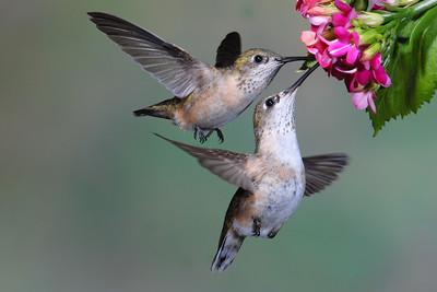 Two Female Calliope sharing the nectar.