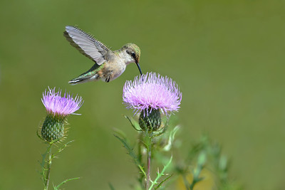 Hummingbird @ Thistle 7379