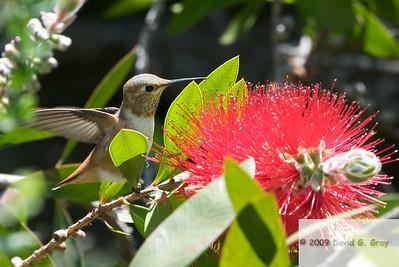 Rufous hummingbird sitting